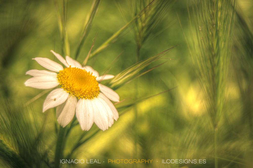 margarita triste – Sad daisy