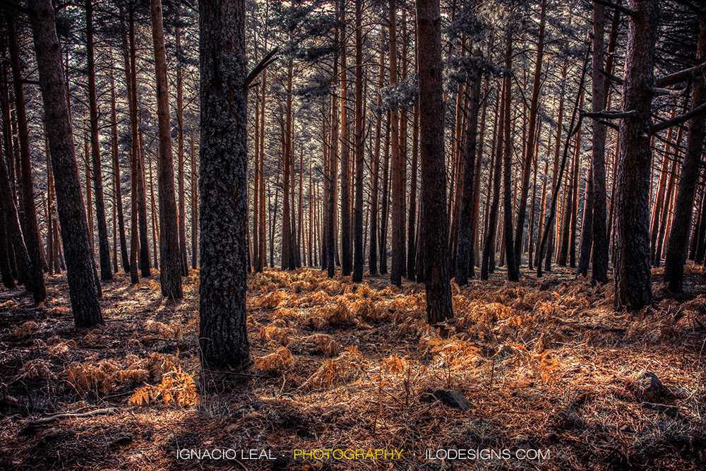 pinar_pine_forest