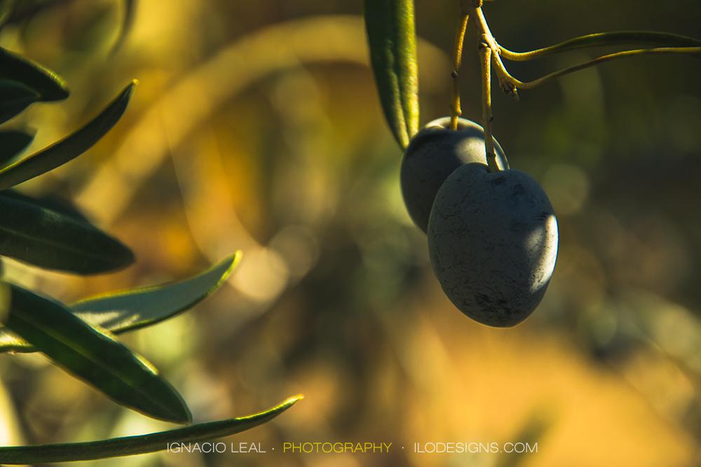 Olives – olivas #2