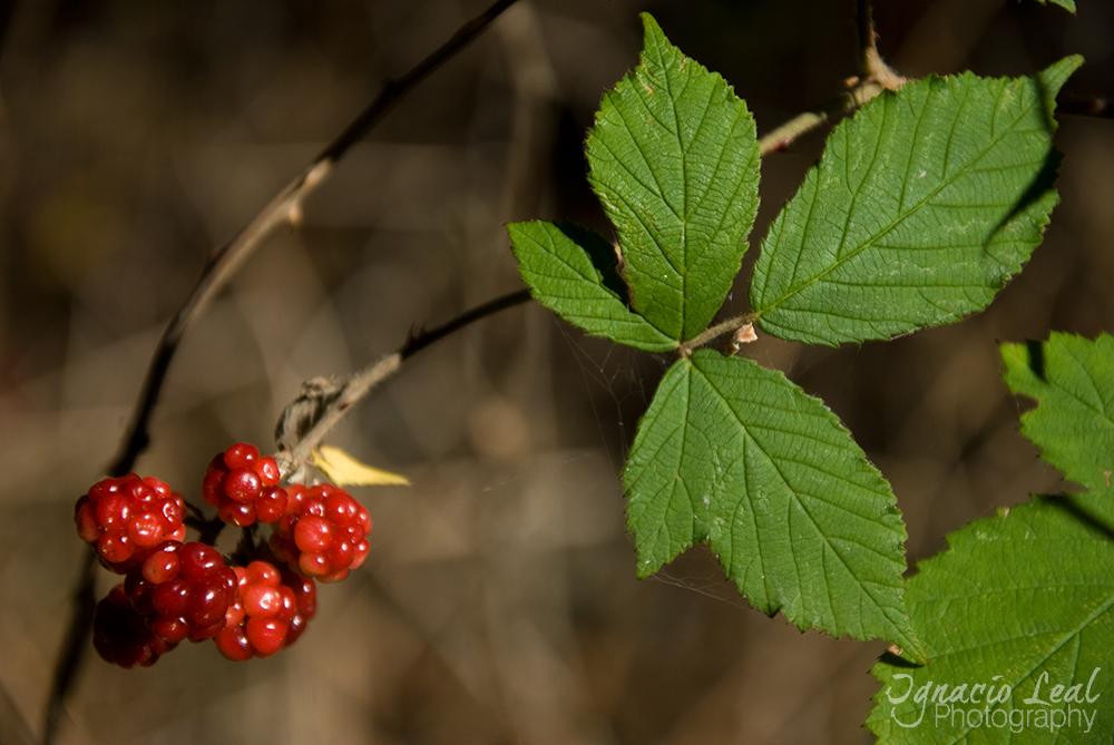 El frambueso – european raspberry