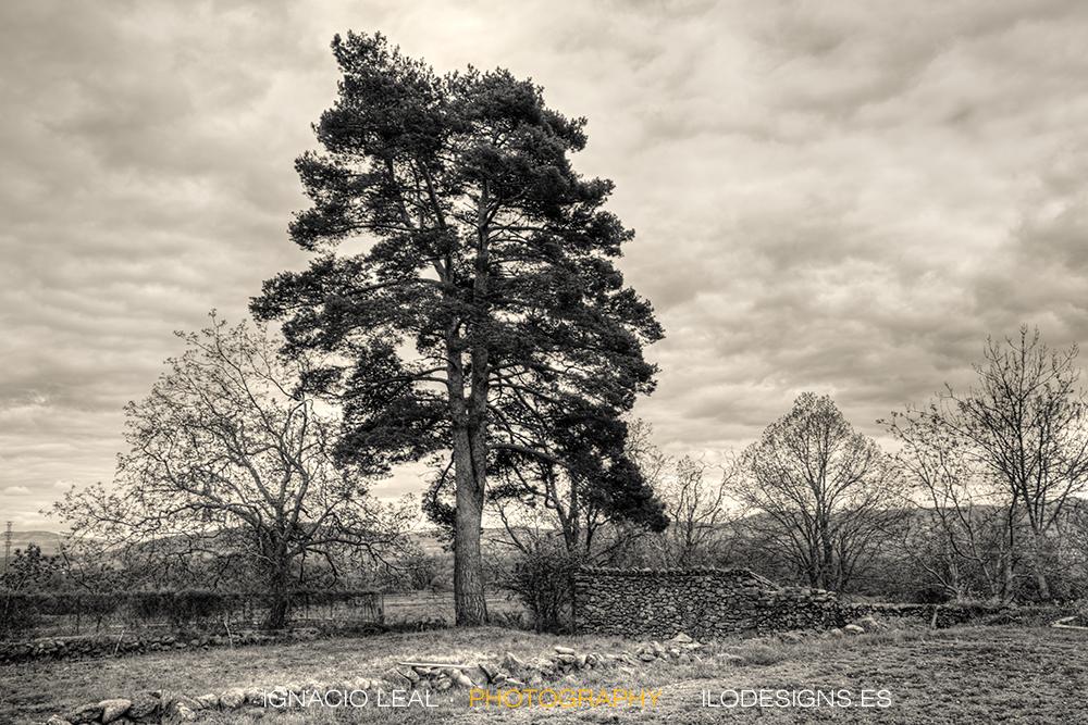 pino_viejo_old_pine