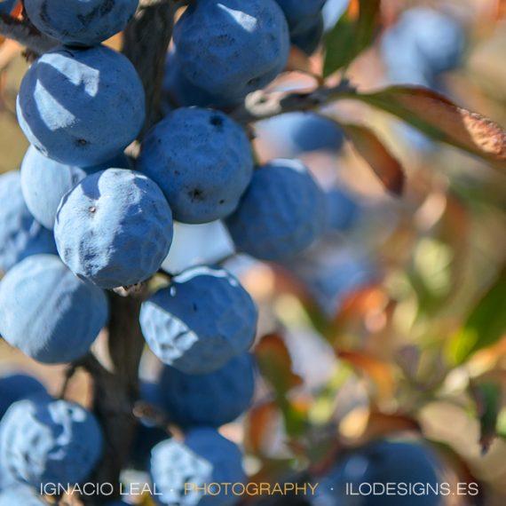 Endrino en azul – Sloe in blue