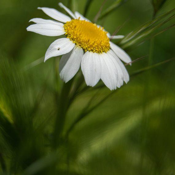 La margarita – daisy