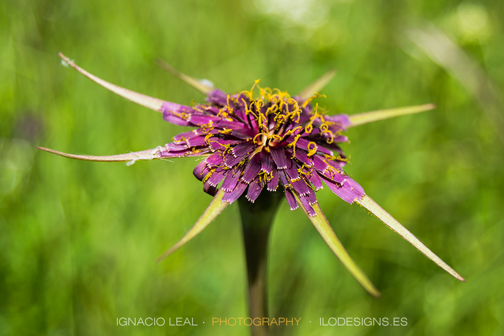 Estrella púrpura