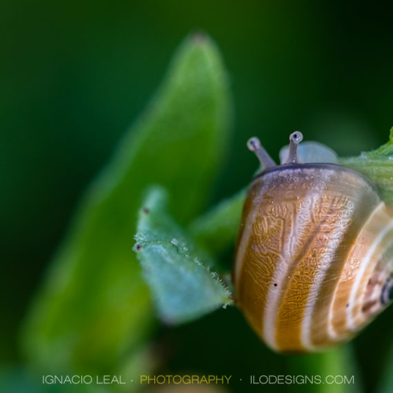 Timidez – the shy snail