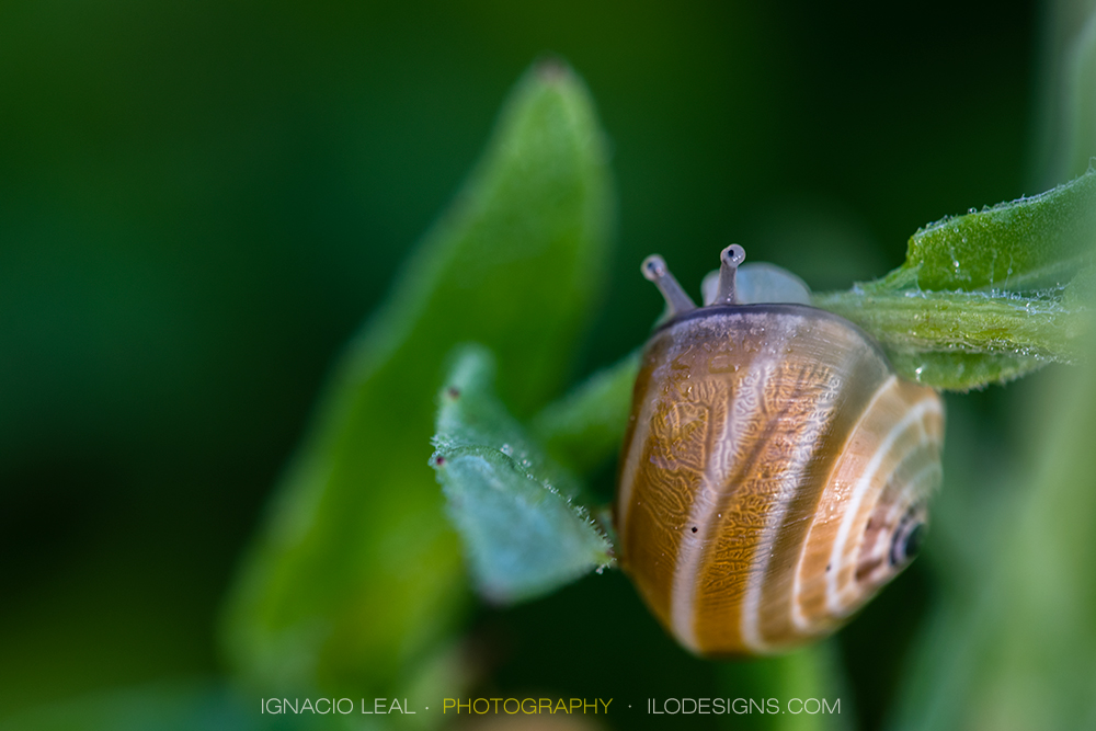 Timidez – the shy snail