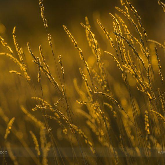 Campos dorados – golden fields