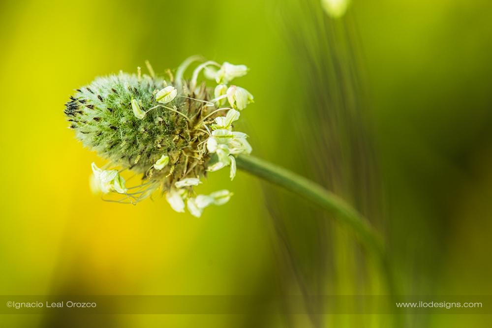 Llantén menor – English plantain