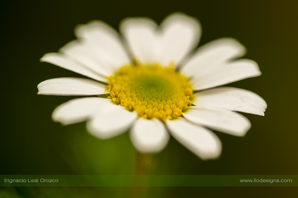 Camomila sobre verde – chamomile on green