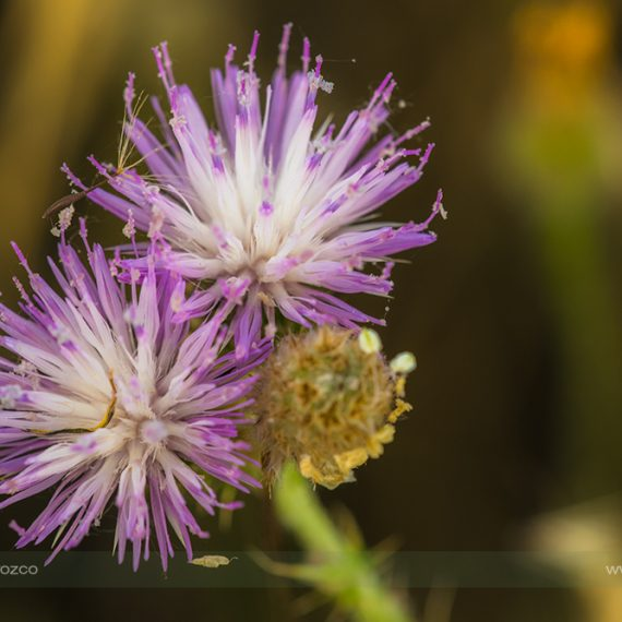 De morado – purple flowers