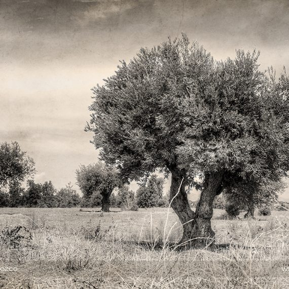 El olivar II