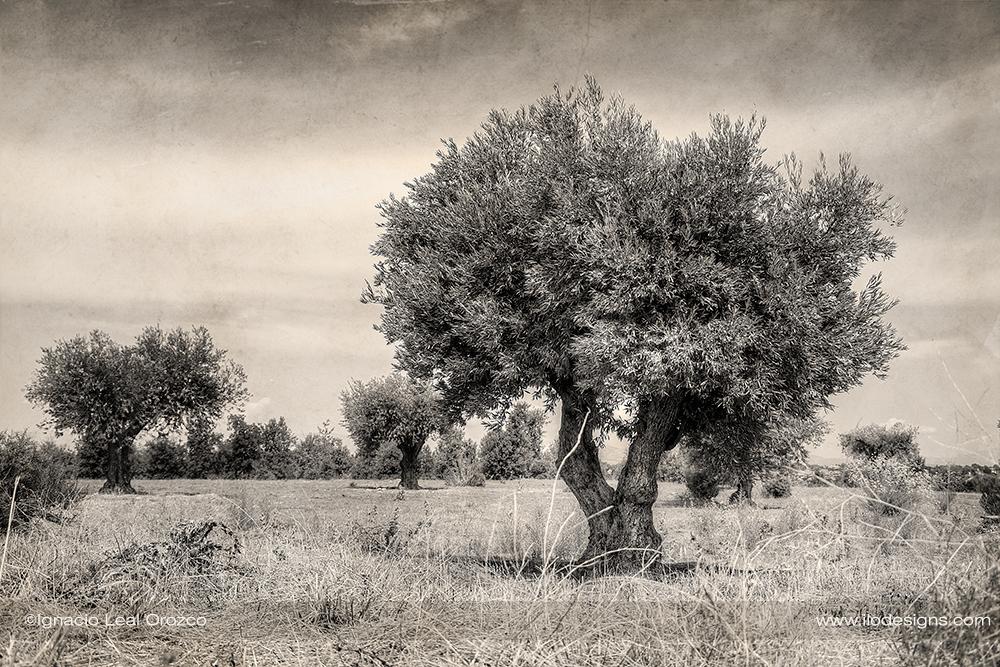 olivo_olive_tree