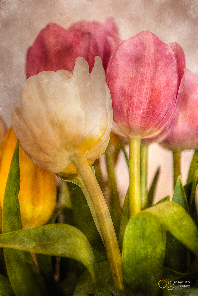 tulipanes_ignacio_leal