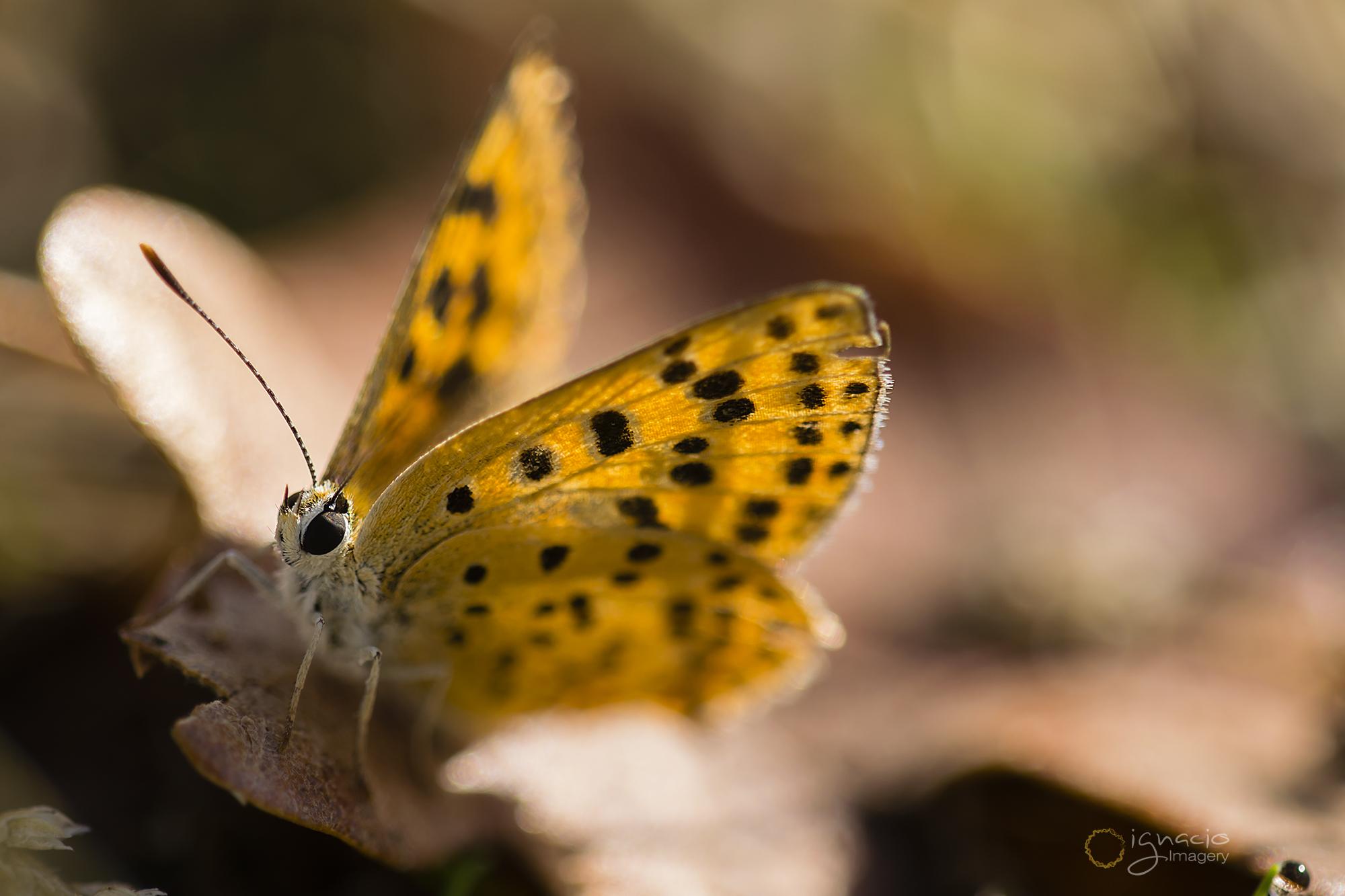 butterfly_macro