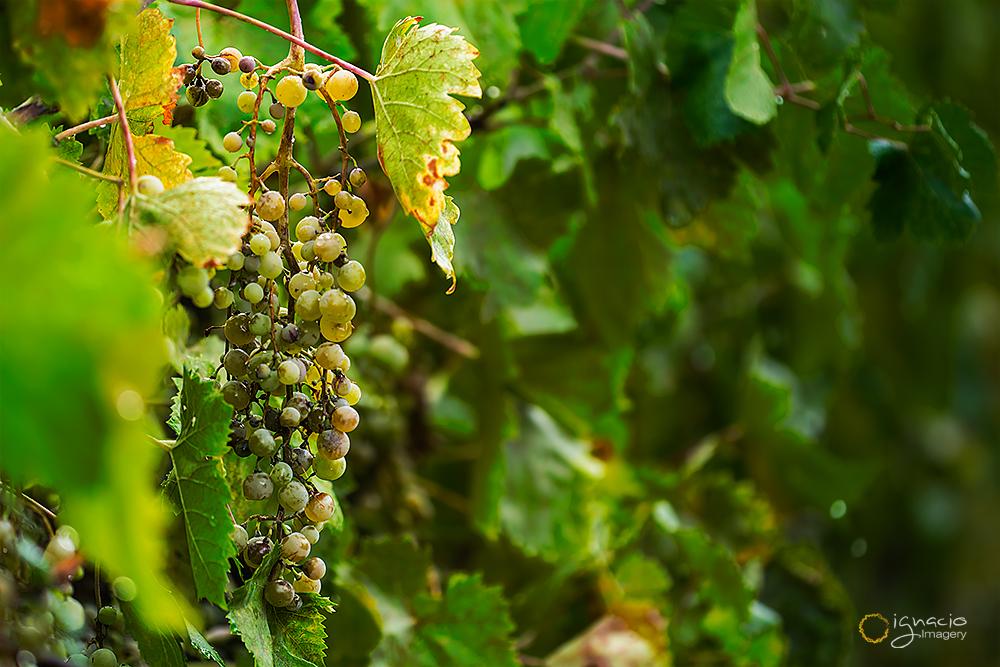 grapes_ignacio_leal